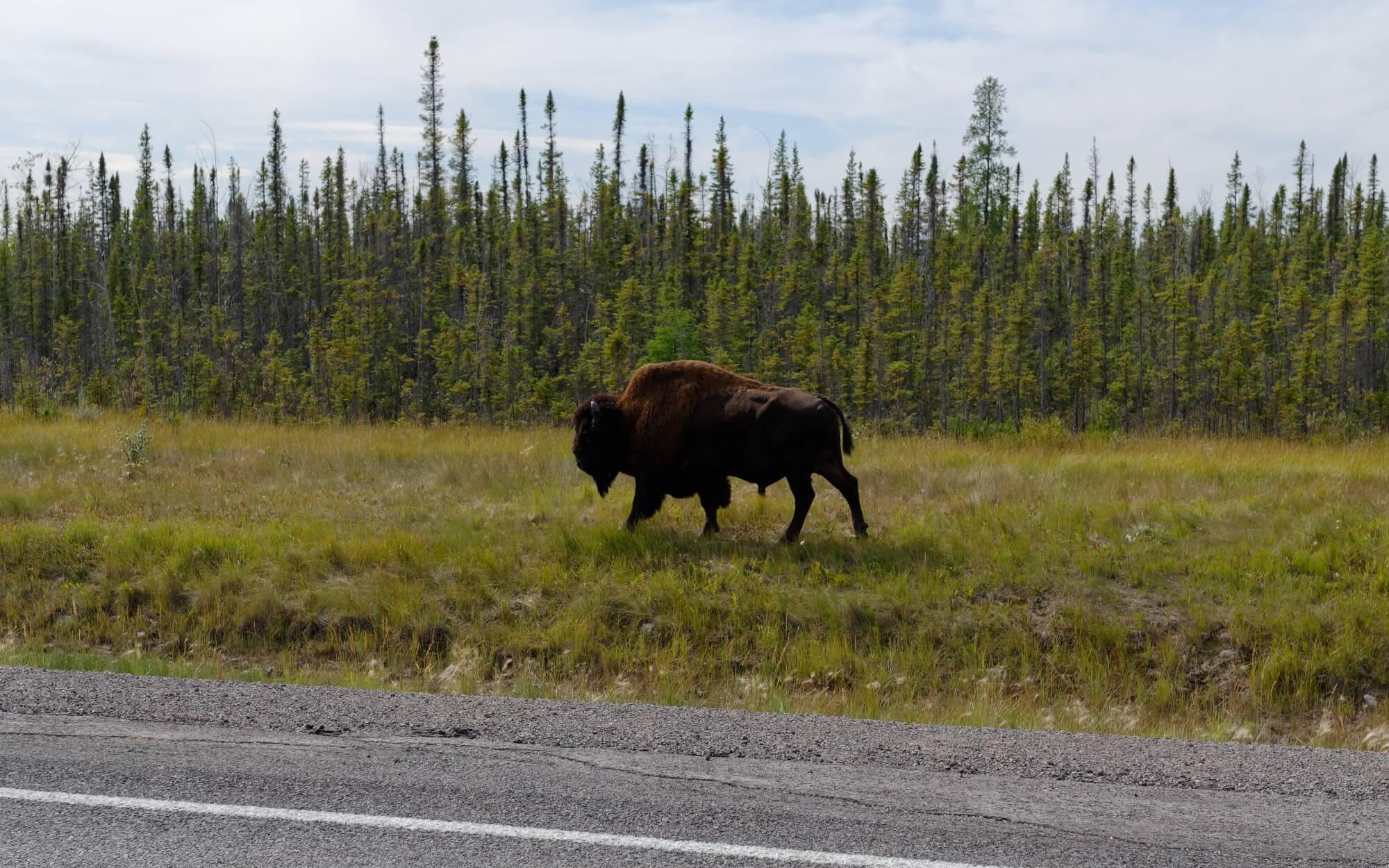 Auf dem Weg nach Yellowknife kann man von der Straße aus freilaufende Bisons sehen