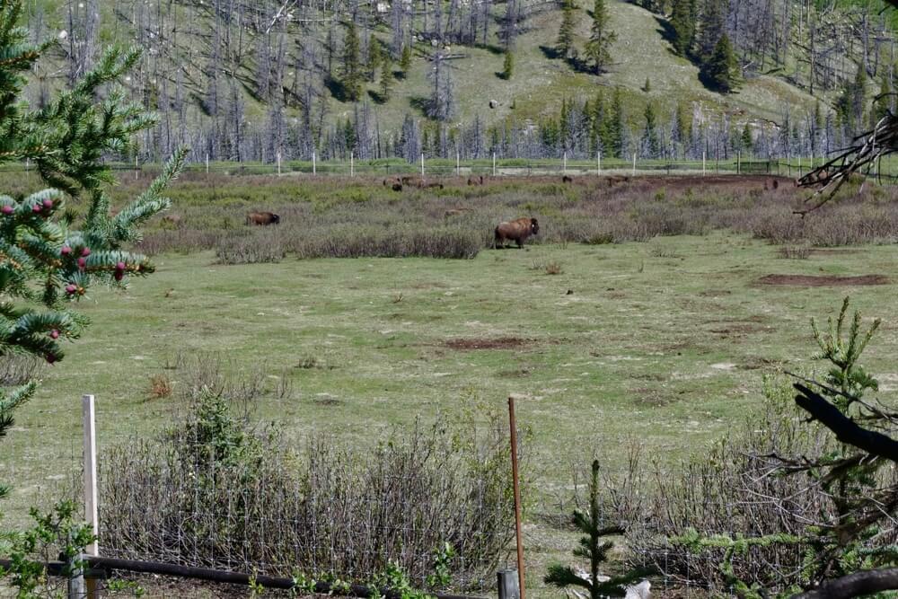 Bisons in ihrem Gehege im Panther Valley. Inzwischen können sie sich in einem 1.200 Quadratmeter großem Gebiet frei bewegen.
